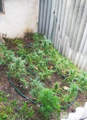 В Запорожской области женщина выращивала наркотические растения (ФОТО)
